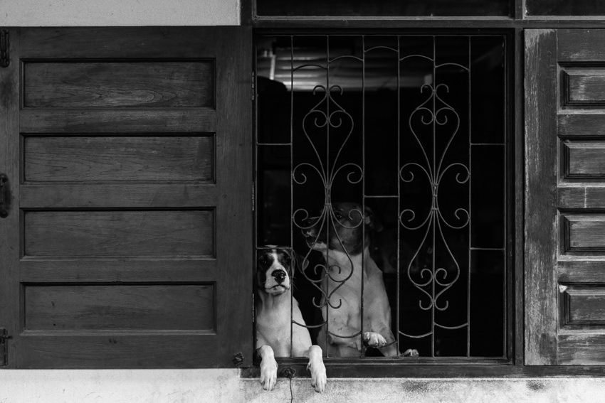 Dogs on the other side of lattice window