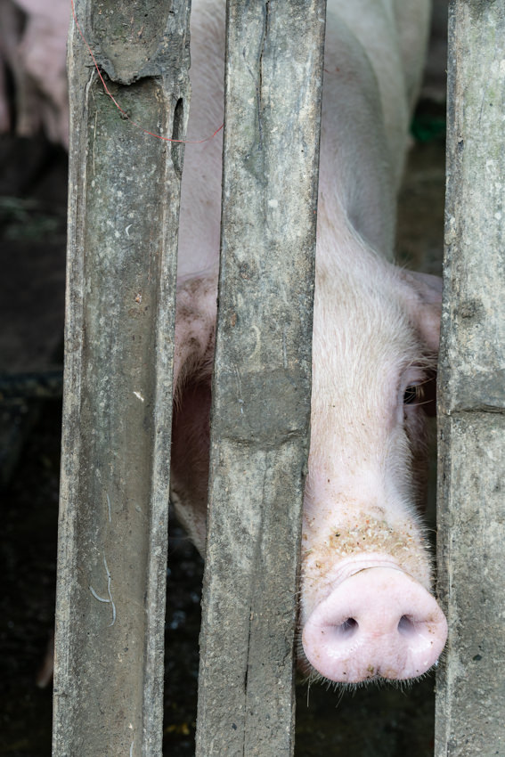 Pig peeking through a gap in the fence