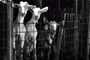 柵の中の山羊
