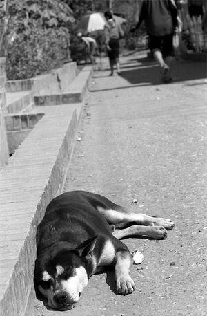道端で寝る犬