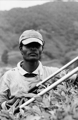 茶畑で働く労働者