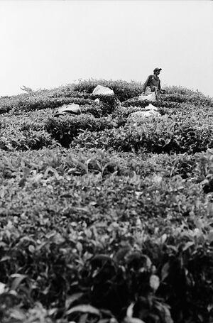 Laborer working in tea plantation