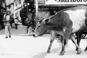 道を散策する大きな牛
