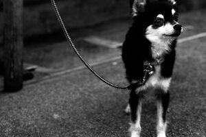 Leashed dog