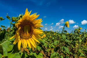 Sunflower on Isle of Miyako