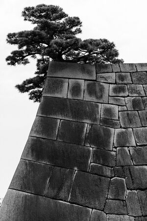 Pine tree on stone wall