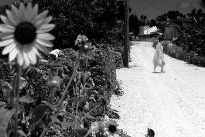 Sunflower by roadside