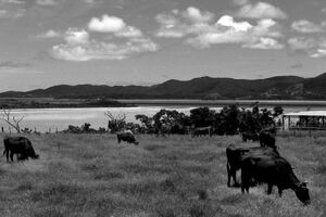 小浜島の牧草地にいた牛
