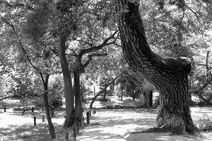 曲がっている木