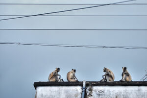 Conference of monkeys