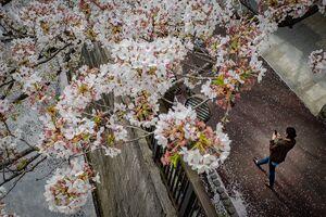 目黒川沿いに咲く桜
