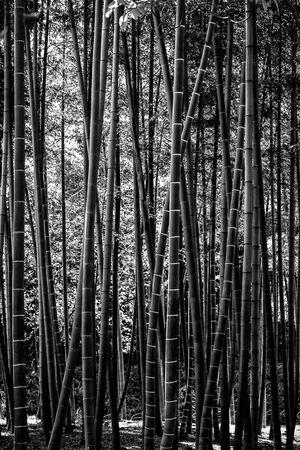 Bamboos in Korakuen Garden