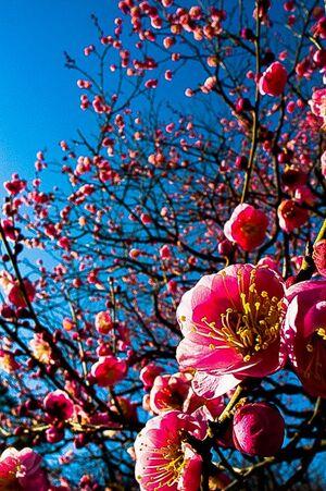 Winter cherry blossom in Shinjuku Gyoen Park