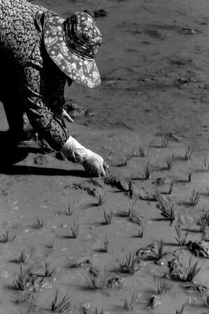 Woman planting rice by hand