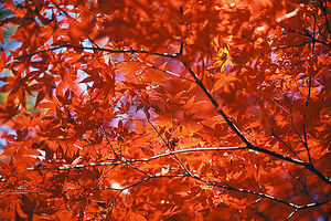 Vivid maple leaves in Inokashira Park
