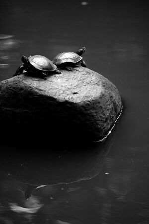 Two turtles on rock