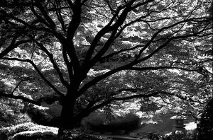 silhouette of spreading tree