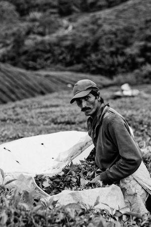 Man gathering tea leaves