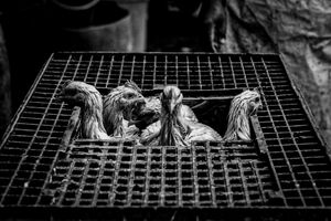 Chickens in cage at slaughterhouse
