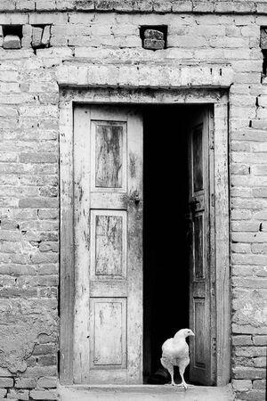 扉の中から姿を現した鶏