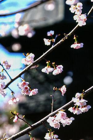 上野東照宮の灯籠と桜