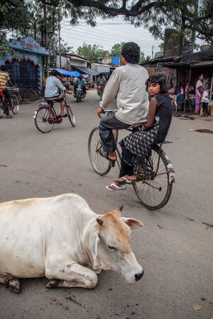Cow in center of street