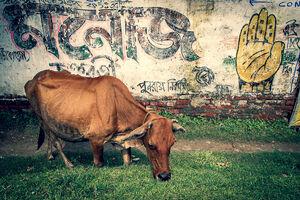 Cow feeding