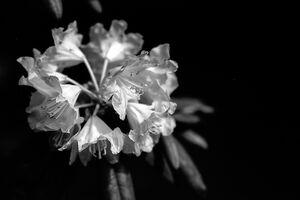 岡寺の石南花
