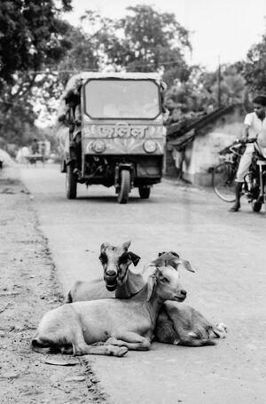 道路脇で寛ぐ山羊