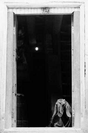 Goat at the door