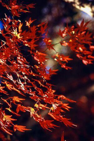 井の頭公園の赤いもみじの葉