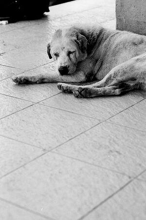 床に這いつくばって寝る犬