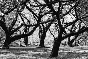 Cherry trees in Shinjuku gyoen park