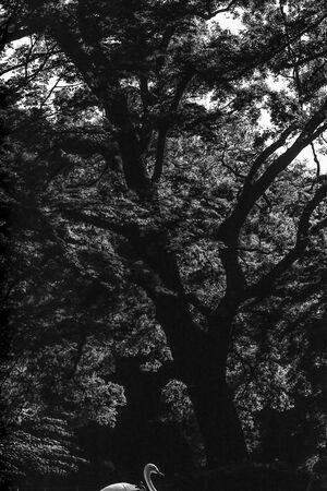 木立の中の白鳥