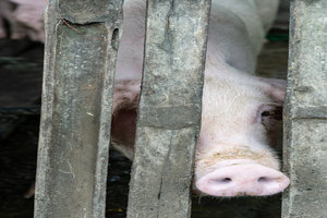 Pig peeking through a gap in the fence