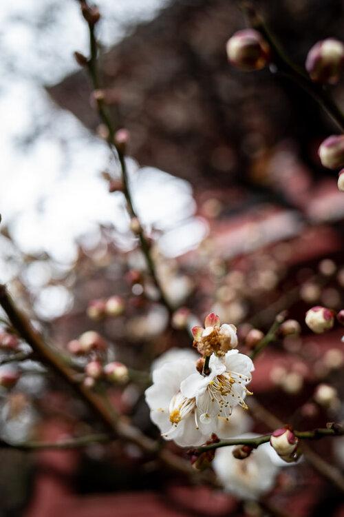 Plum blossoms at Meguro Fudo-son