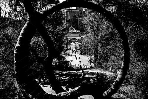 Moon Pine trees in Ueno Park