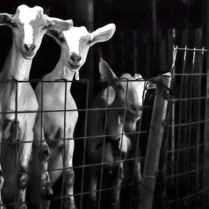 goats in fold