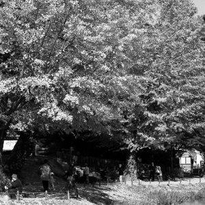 称名寺の銀杏の木