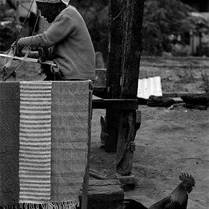 機織り機の周囲をウロウロする雌鳥