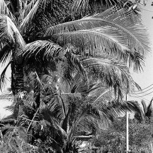 Tall palm tree by roadside