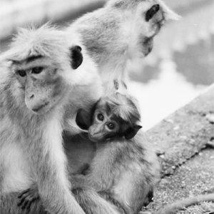 仏歯寺にいた猿の家族
