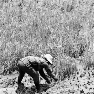 田んぼの中で稲刈りをする女