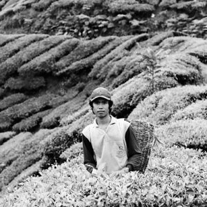 茶葉を摘む青年
