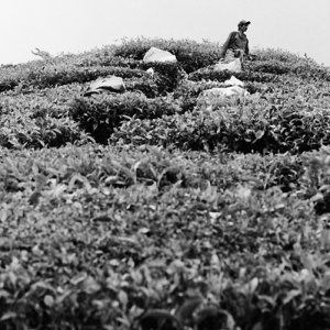 Laborer working in tea plantation