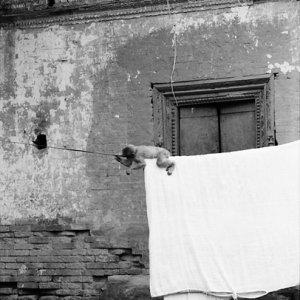 洗濯物で遊ぶ猿の子ども