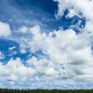 Sugar cane field under blue sky