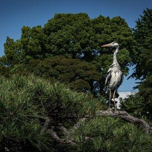 清澄庭園の白鷺