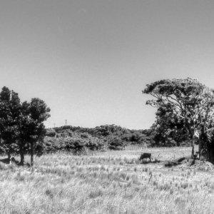 Livestock in grazing ground