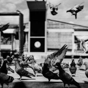 群れていた鳩